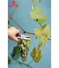 قیچی جمع کردن گل و انگور